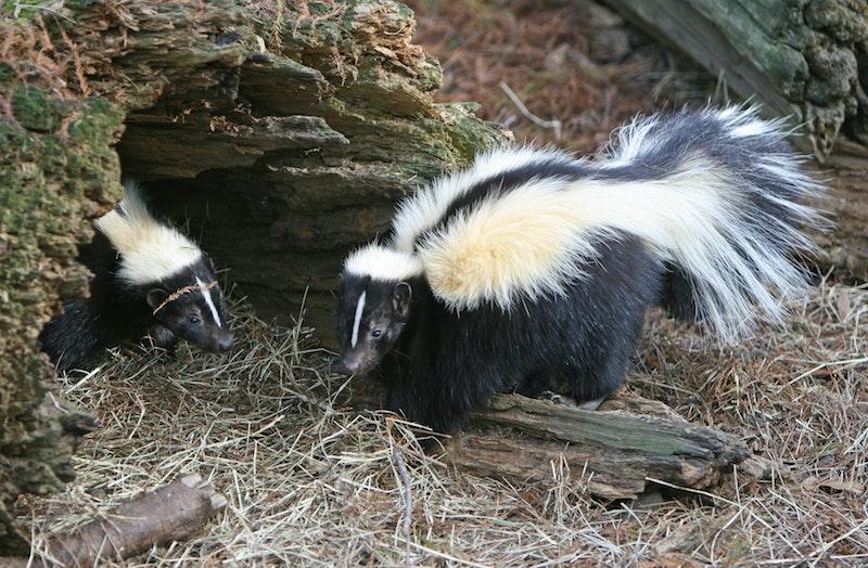 Skunk Removal 3