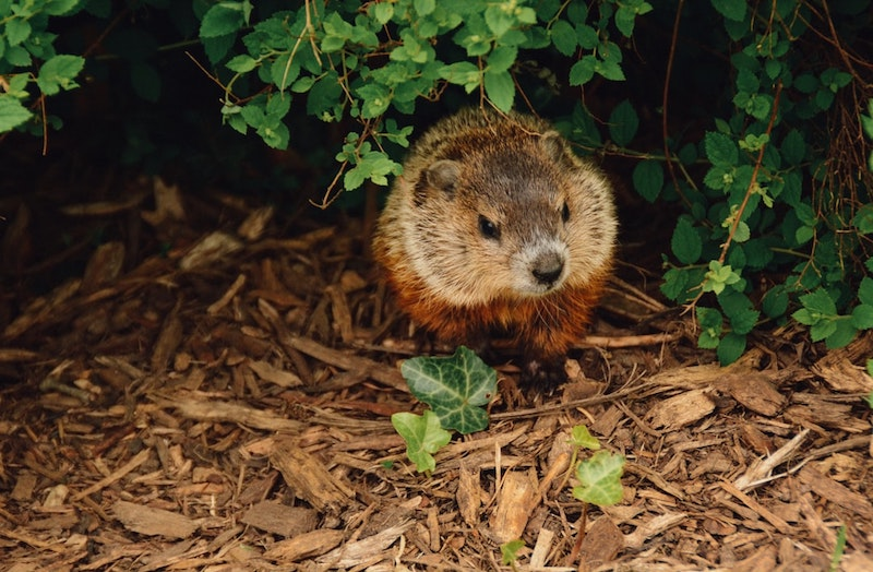 Woodchuck Removal 3